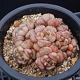 홍포도38|Graptoveria Ametum