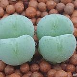 털쟁이추구 (붕어입)코노피튬|Conophytum