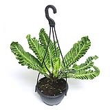 실내공기정화식물 거실화분 실내관엽식물 인테리어식물 코브라아비스 