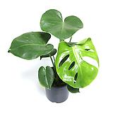 몬스테라 식물 몬스테라화분 공기정화식물 인테리어식물 