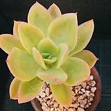 골든글로우 523-9|Echeveria cv. Golden Glow