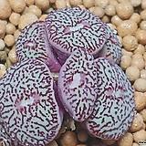 위트버젠스RR714코노피튬|Conophytum Wittebergense