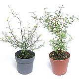 마오리 소포라 코로키아 마오리나무 야생화 실내식물 인테리어식물 