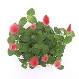 야생화 실내식물 화초 여우꼬리풀 