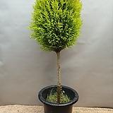 핫도그율마외목대허브공기정화식물507012970