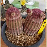 자태양군생(실생)|Echinocereus rigidissimus Purpleus