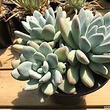 자연군생 후레뉴(12두)|Pachyphtum cv Frevel