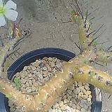 헤레이 아프리카식물05241|Adromischus marianiae Herrei