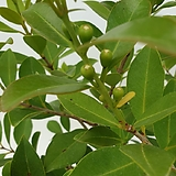 열매 많은 목대 좋은 구아바 과일나무|