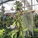 카노사 호야 핑크꽃 |Hoya carnosa