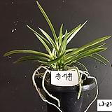 천지천/난/풍란/동양란/목부작/분경/석부작/나라아트 