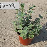 세잎돌나물(불로초/공기청정/가습효과) 지름 9cm 소품 다육화분(단일품목 구매시 5천원 이상 배송가능)|