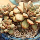 홍포도자연군생 Graptoveria Ametum