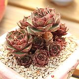 원종롱기시마 Echeveria longissima