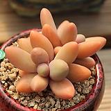 오비리데 Pachyphytum Oviride
