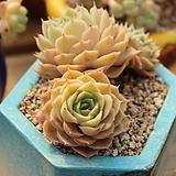 온슬로우 Echeveria cv  Onslow