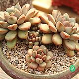 홍포도 Graptoveria Ametum
