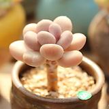 월미인 Pachyphytum oviferum Tsukibijin