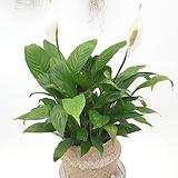 스파트필름 호프쎌렘 공기정화식물 실내식물 음지식물|