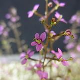 스틸리디움 데빌레(식충식물) Echeveria still