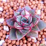 모노금 모노케로티스금.작고예뻐요|Echeveria Monocerotis