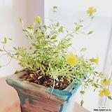 옐로우엔젤 고급수제분완성분(노란꽃이 연중 피고지는 예쁜꽃)분갈이/마사/화산석 Handmade Flower pot