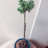 주목나무(미니미니 외목둥이)수제분완성분세트/분갈이/마사/화산석 Handmade Flower pot