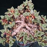 사해파 525-8|Faucaria tigrina
