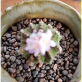 리터리(화롱 용신목 접목)Aztekium ritterii|Myrtillocactus geometrizans Cons