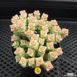 묵은 희성금|Crassula Rupestris variegata