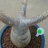 그락실리스 아프리카식물05251|