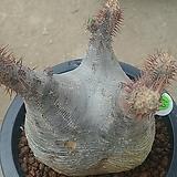 그락실리스 아프리카식물05256|