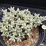 원종미니벽어연|Corpuscularia lehmanni