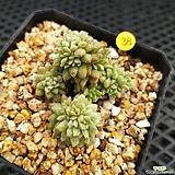 리틀쨈백금|Cremnosedum Little Gem (Crassulaceae)