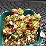 묵은 은설|Sedum spathulifolium