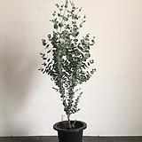 유칼립투스 사진식물 1m|