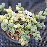 벽어연금중품5432|Corpuscularia lehmanni