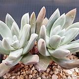 블러쳐스5454|Dudleya farinosa Bluff Lettuce