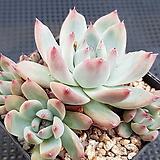호주원종콜로라타자연군생5456|Echeveria colorata
