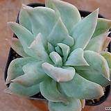 릴리시나백금|Echeveria lilacina