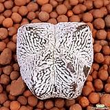 온즈카난봉옥 수입들어온특이한4봉이구요작아요|Astrophytum myriostigma cv. ONZUKA