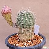 방희옥선인장.꽃이크게핍니다흔치안은아이입니다|Haworthia truncata