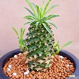 괴마옥.자구많이나오구요사이즈도좋아요|Euphorbia hypogaea