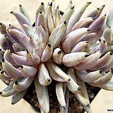 웅구아쿨라타211|Echeveria unguiculata