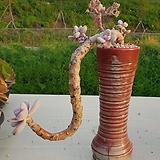 아마조네스자연 묵은둥이|Graptopetalum Amazones