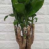 황금죽 공기정화식물|