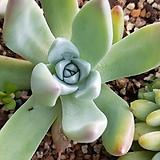 파키필라|Dudleya pauciflora