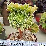 에오니움아이스목대|Aeonium canariense