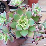 일월금-14|Aeonium decorum f variegata