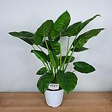 알로카시아 / 잎알로카시아 / 조직배양묘 / 사진상품발송 -0527|Alocasia